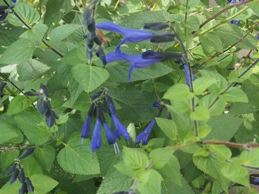 20140830・トトロ植物02・サルビア・ガラニティカ