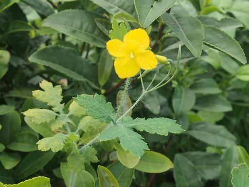 20140830・トトロ植物12・クサノオウ