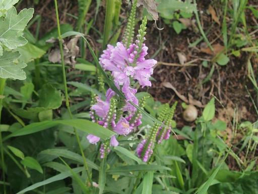 20140830・トトロ植物10・ハナトラノオ