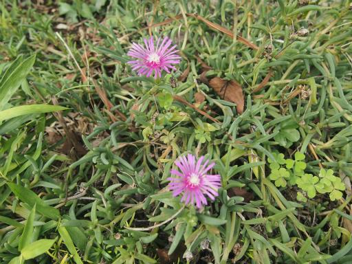 20140830・トトロ植物14・マツバギク