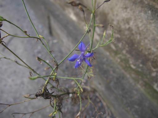 20140830・トトロ植物22・セリバヒエンソウ