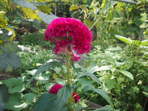 20140830・トトロ植物19・ケイトウ