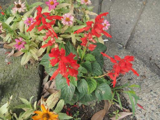 20140831・高坂植物30・サルビア