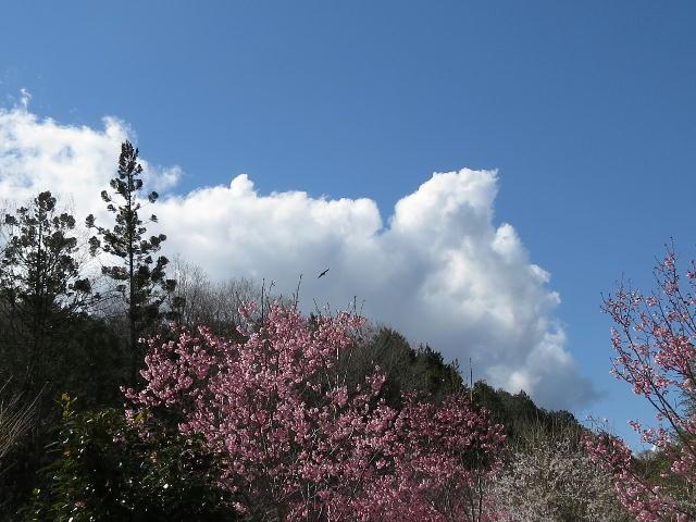 早咲き桜01