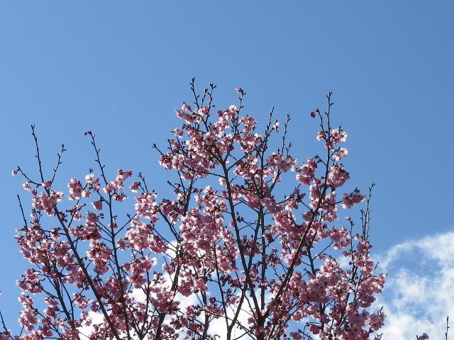 早咲き桜02