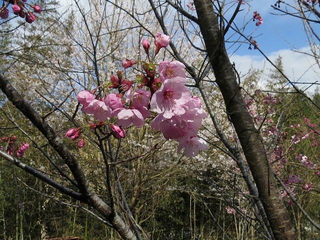 早咲き桜03