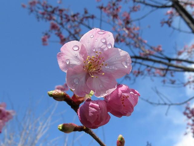 早咲き桜04