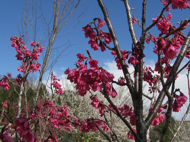 早咲き桜05