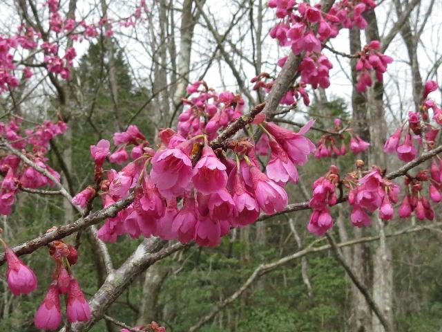 早咲き桜06