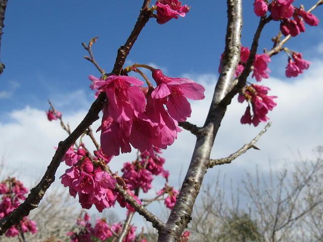 早咲き桜07