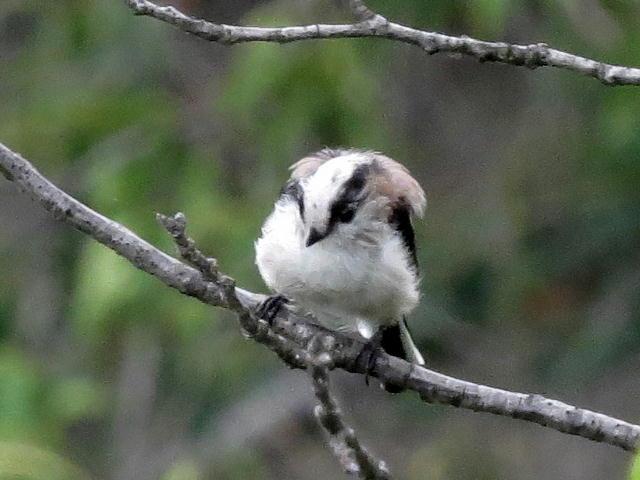 エナガ幼鳥06