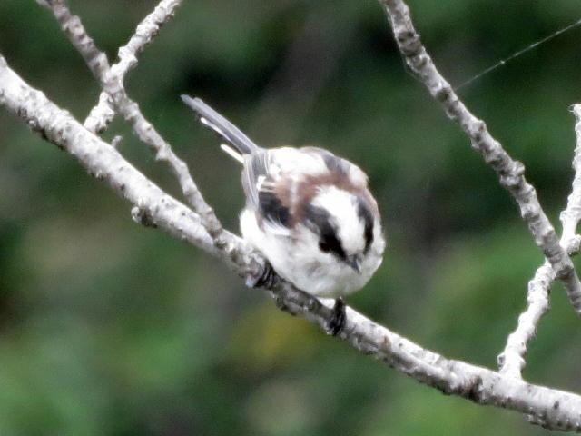 エナガ幼鳥08
