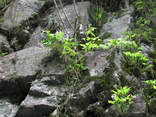 イワギボウシ01