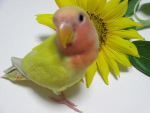 小桜インコ、ラナン、ラナちゃん