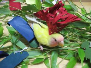 小桜インコのラナンちゃん