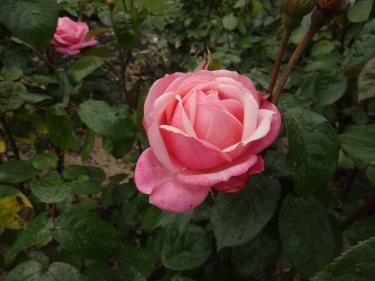 Botanic Pink Rose