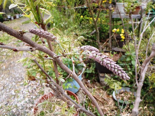 藤の花芽2014420