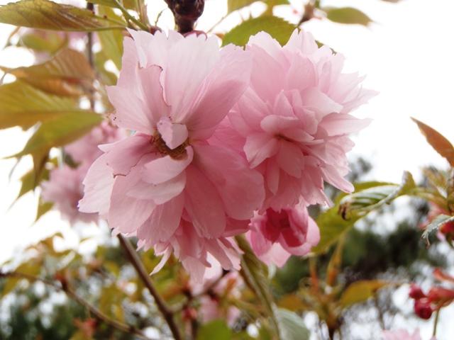 八重桜2014420