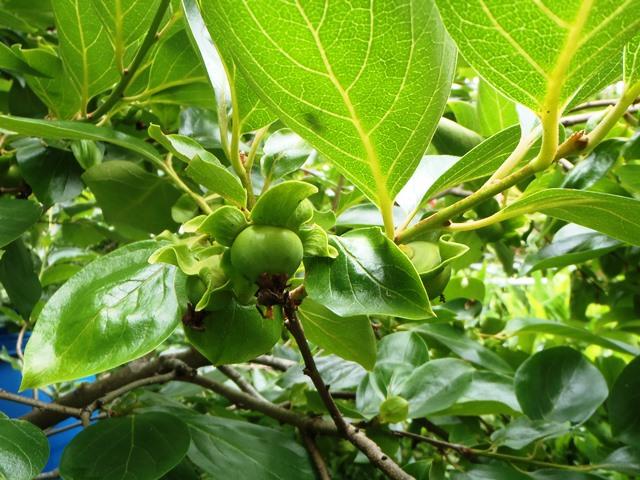 柿の実2014628