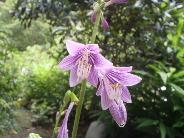 ギボウシの花2014807