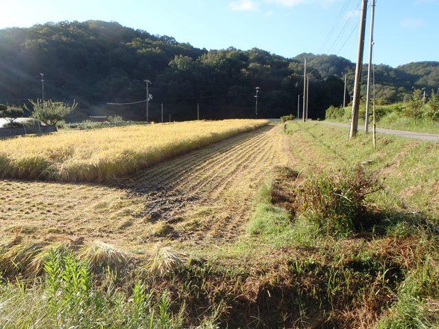 稲刈り2014914