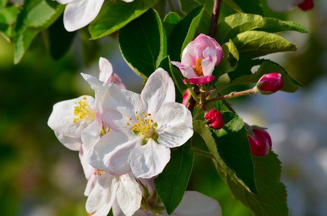 リンゴの花 (21)