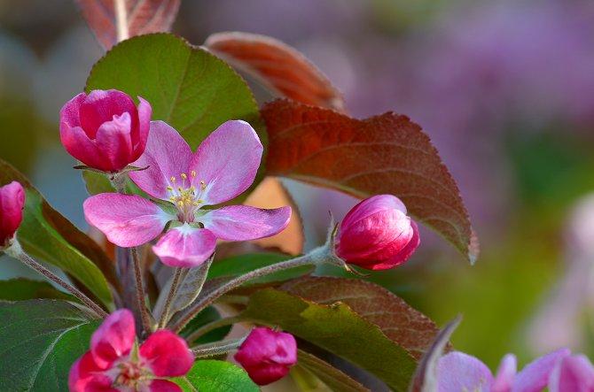 リンゴの花 (30)