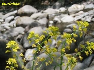 ヤマカラシ①(山枯らし)