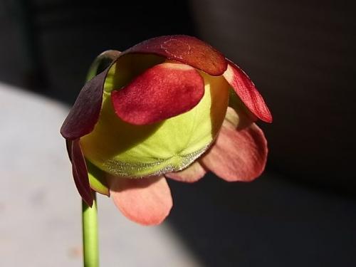 花粉受け緑