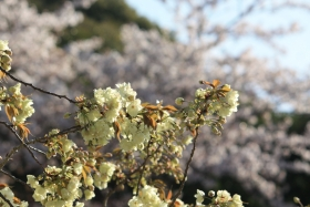 4月11日朝 桜2種