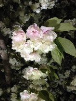4月12日夜桜