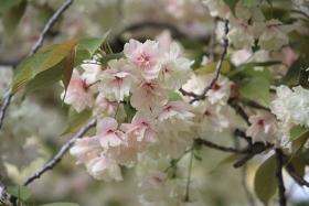 4月14日咲き中