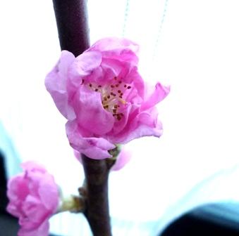 140303 桃花瞑想イニシエーション