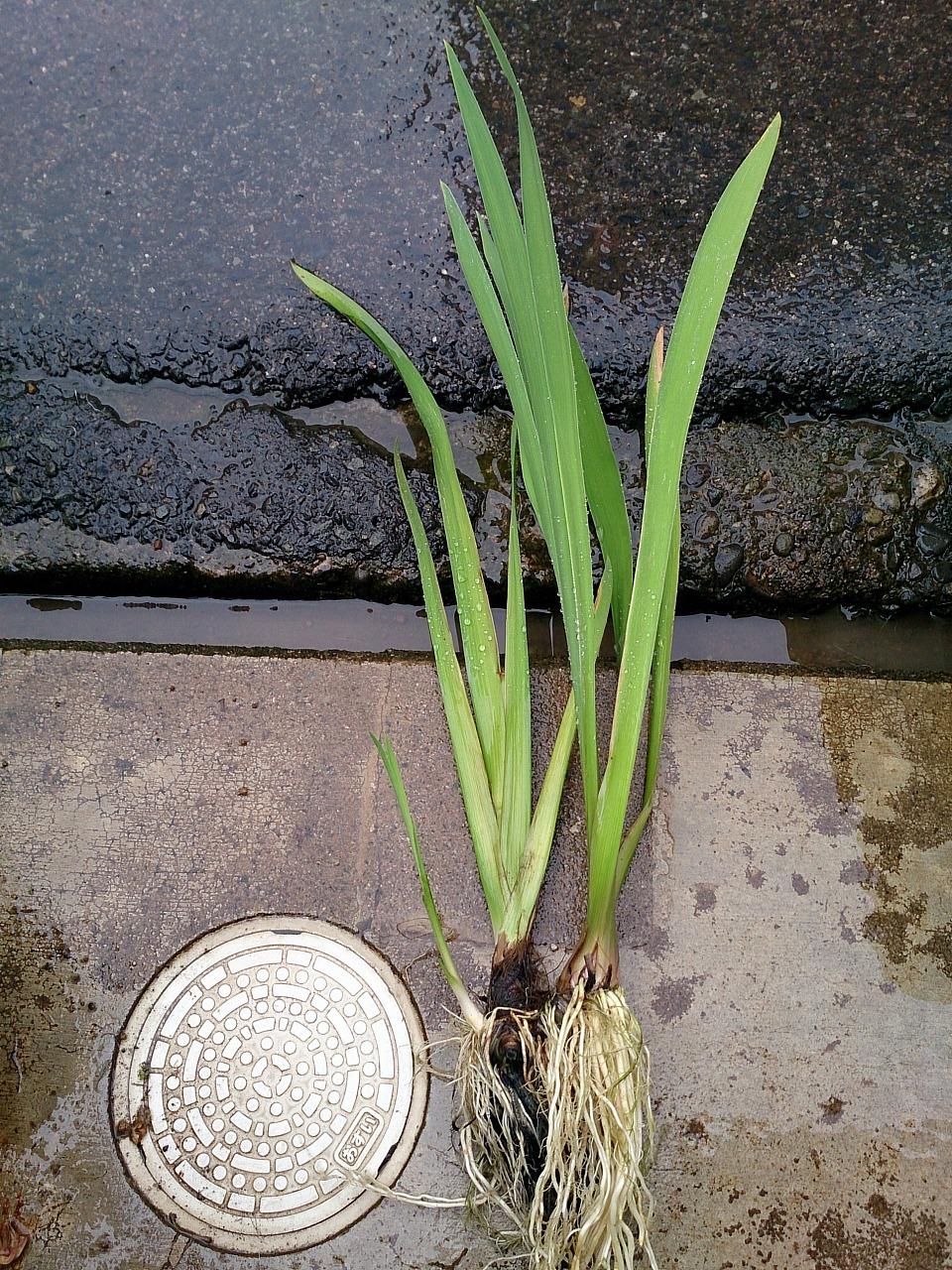 Iris laevigata_20140607-01