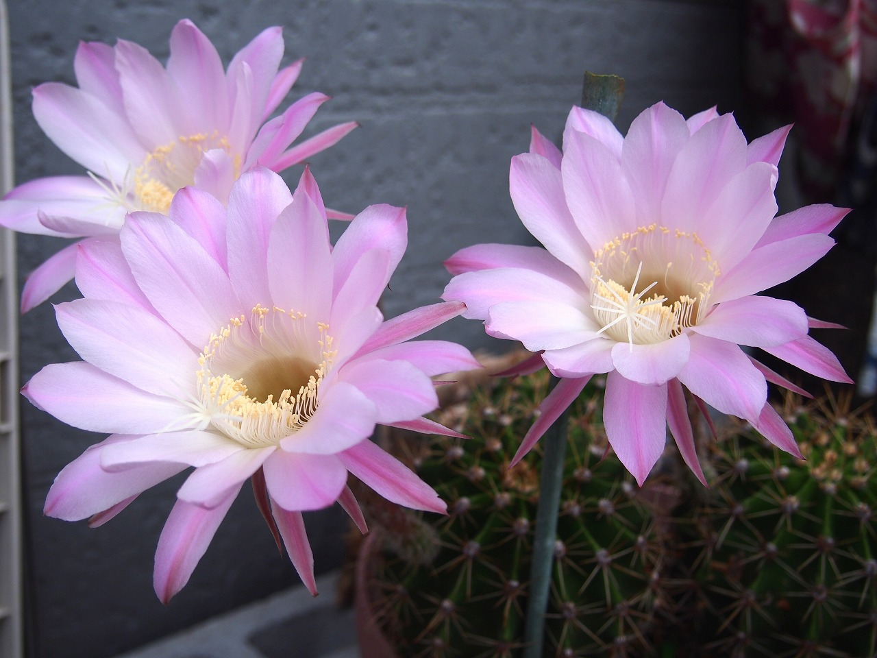 CactusFlower _20140617-02
