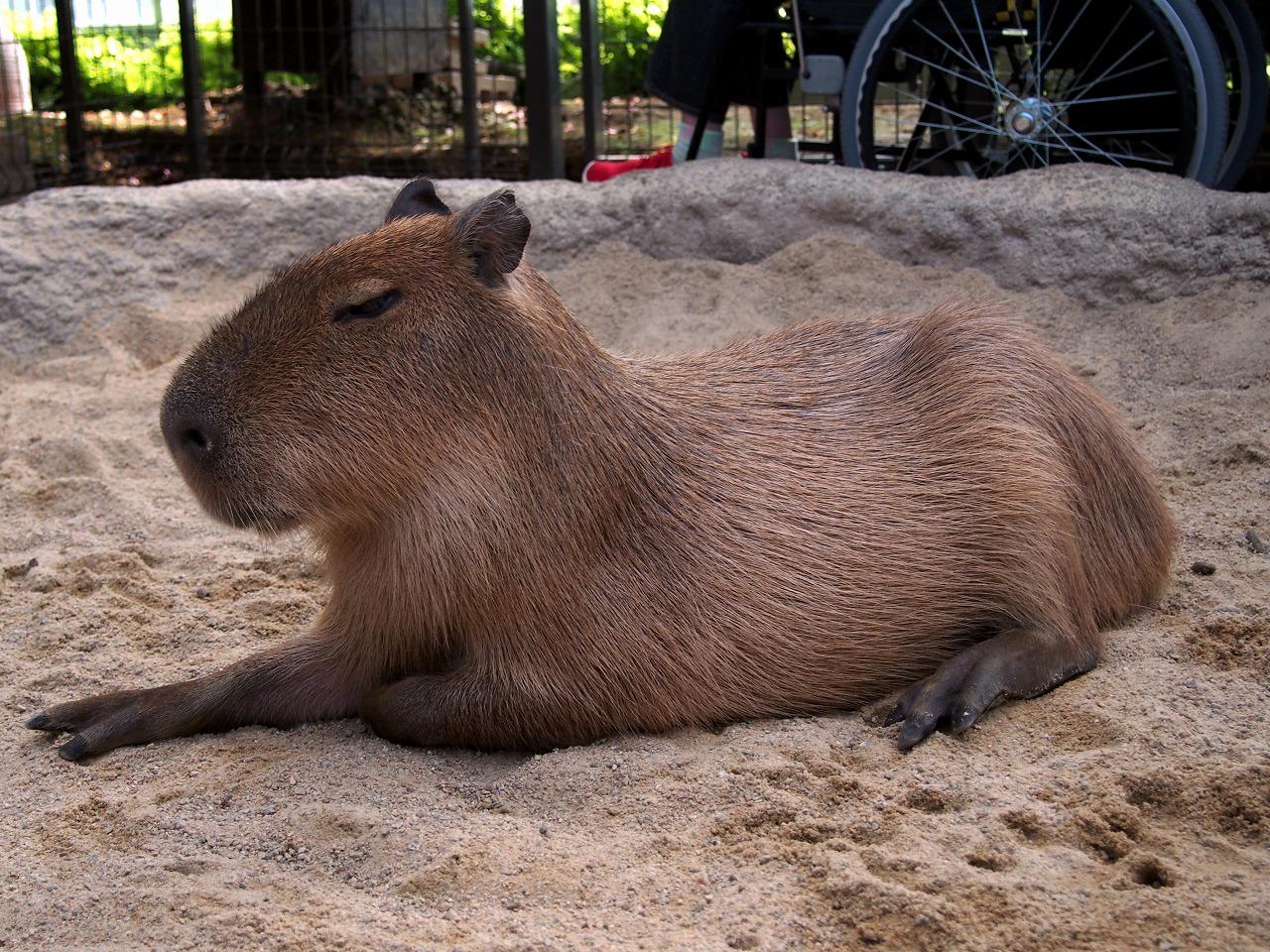Capybara_20140913-01.jpg