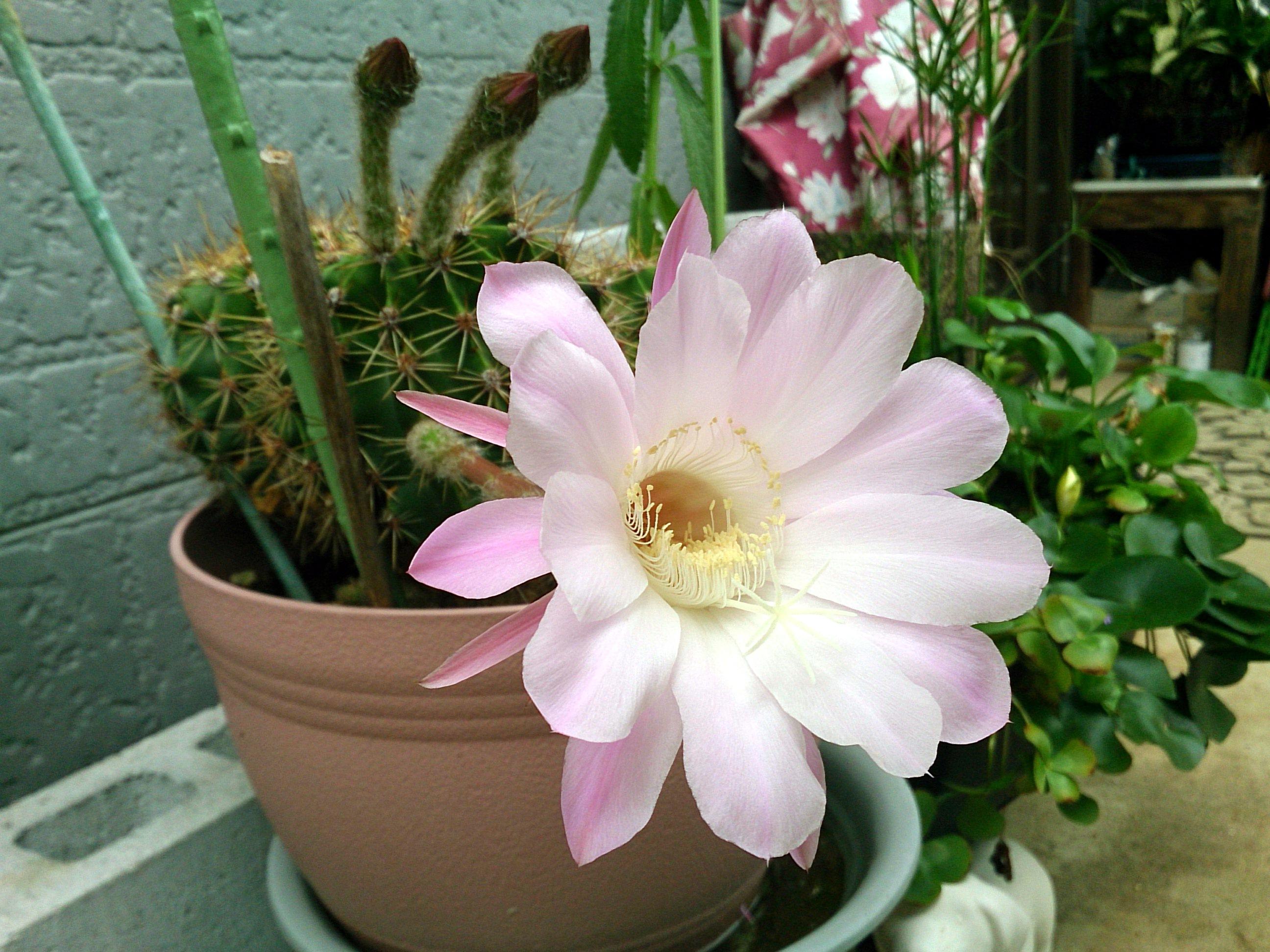 FlowerOfCactus_20140901-02.jpg