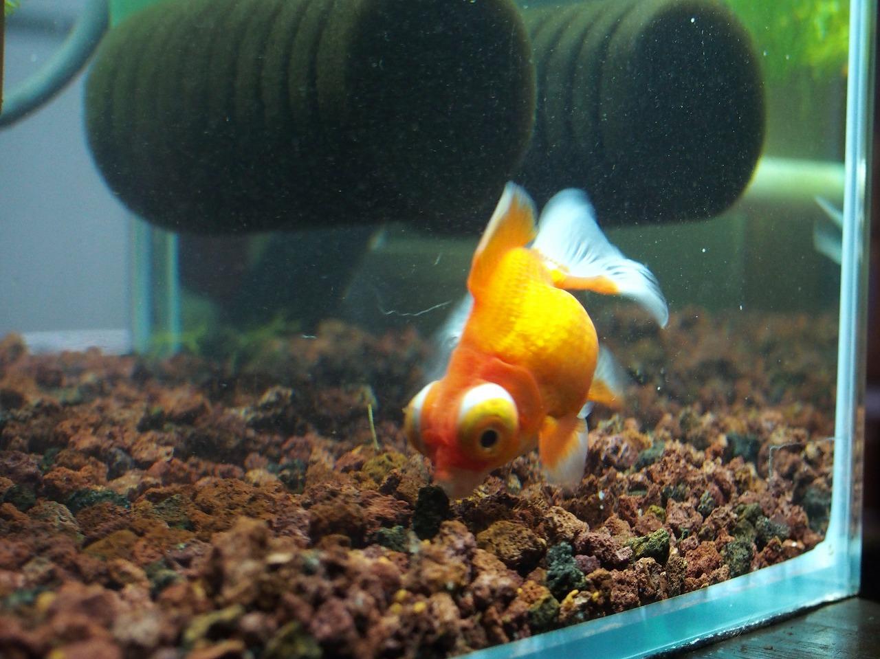 GoldFish_20140622-01.jpg