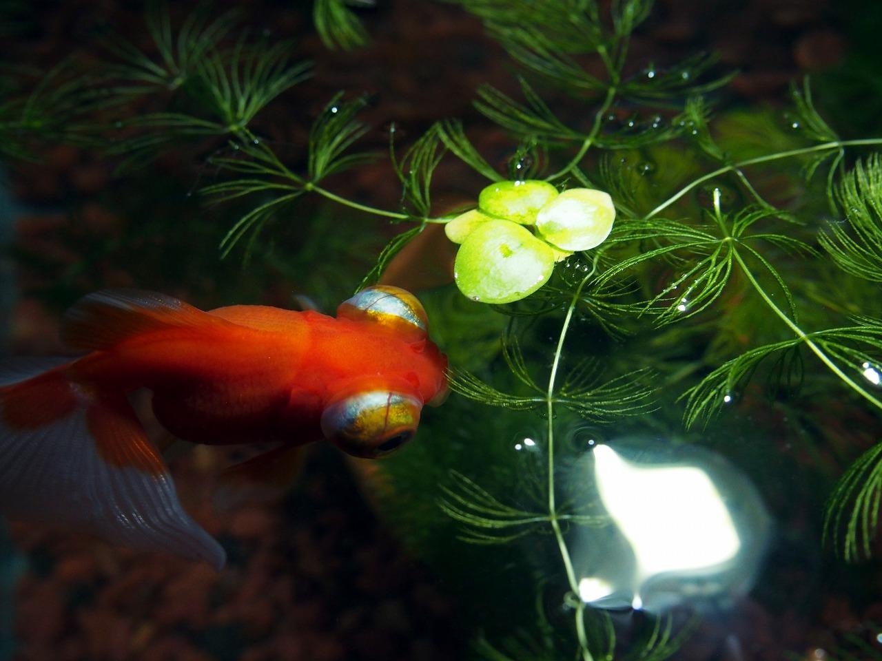 GoldFish_20140622-02.jpg