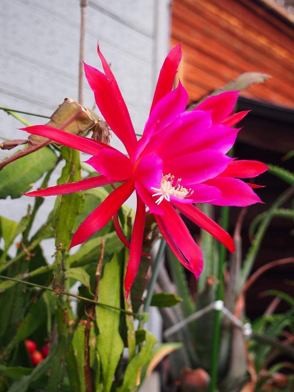 KujakuSaboten-RED_20140620-04.jpg