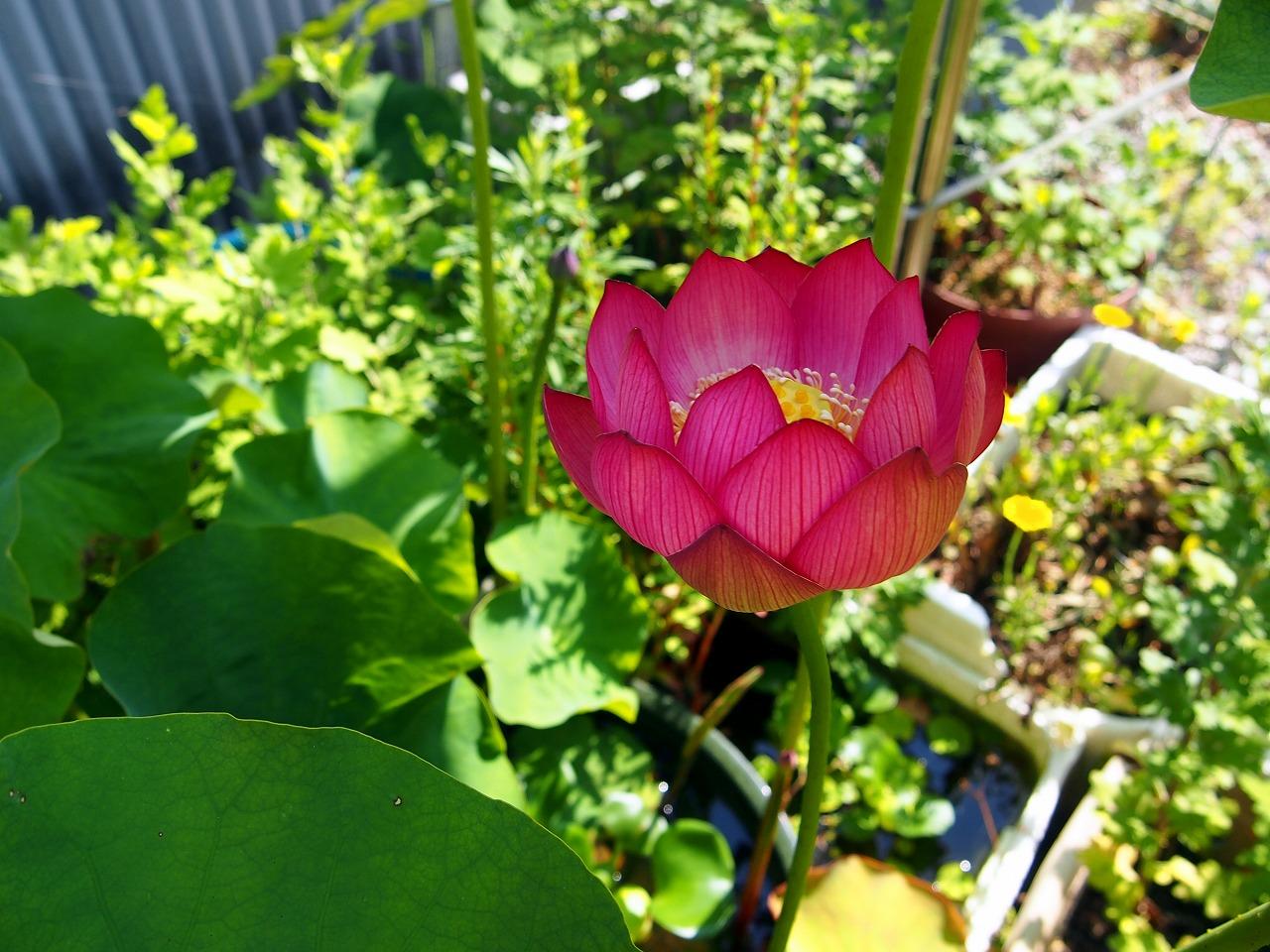 Lotus-Shokkouren01_20140625-01.jpg