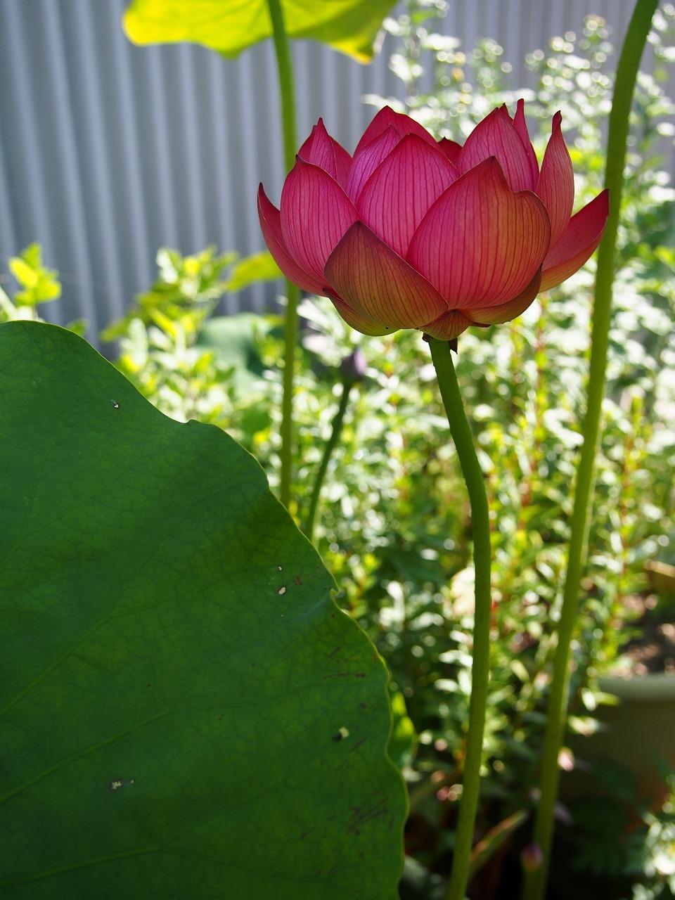 Lotus-Shokkouren01_20140625-02.jpg