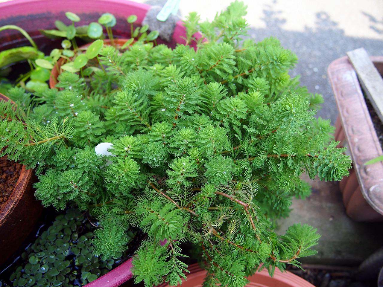 MyriophyllumSpOrange_20140619-02.jpg