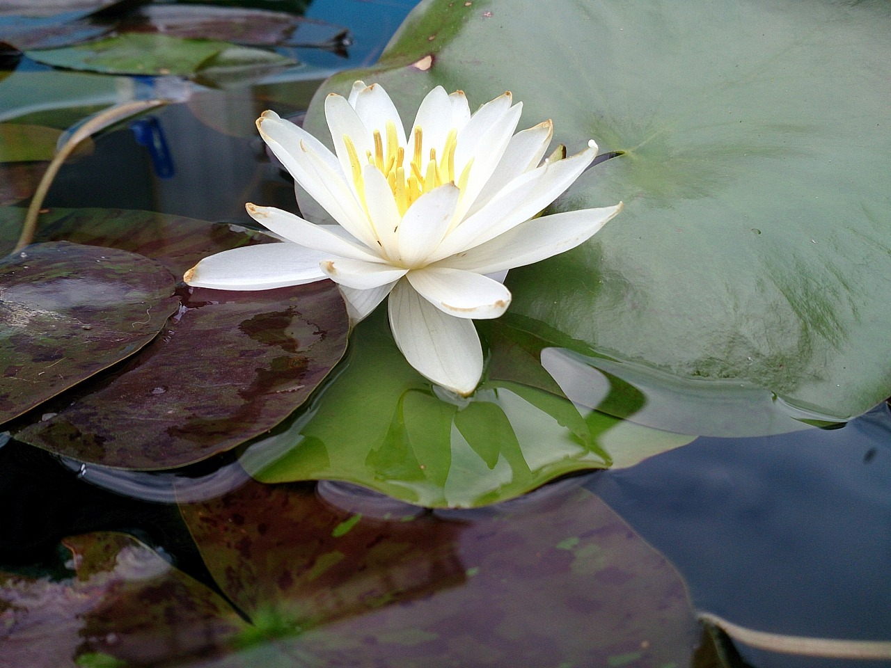 Unknown-WaterLily02-03_20140603.jpg