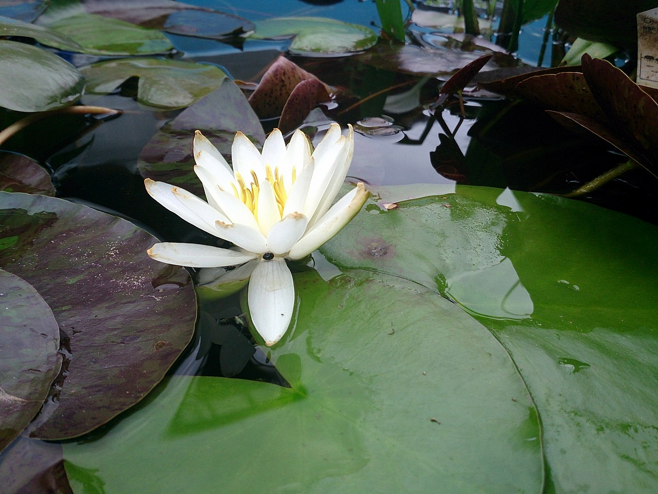 Unknown-WaterLily02-04_20140604.jpg