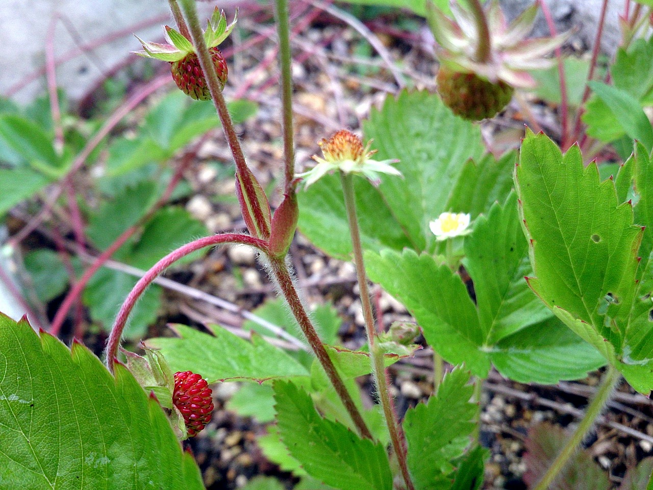 Wildstrawberry_20140512-01.jpg