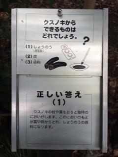 クスノキ③