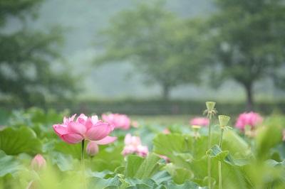 夏花2IMG_3440