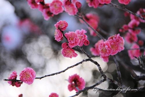岩本山の紅梅