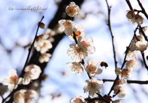 梅に蜂が飛ぶ~♪